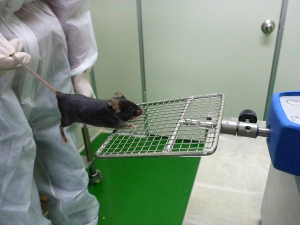 생쥐의 근력을 시험하는 모습. 사람의 턱걸이와 비슷하게 앞발의 근력을 측정하는 것이다. - 국가마우스표현형분석사업단 제공